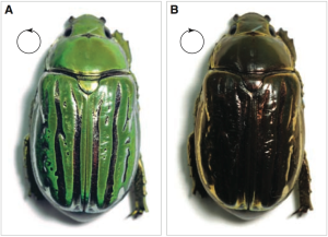 Coloration of a jeweled beetle in light with left (a) and right (b) circular polarization. From Sharma et al. Science 325, 449 (2009).